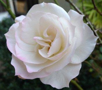 011-rose.jpg