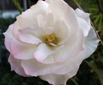 012-rose.jpg